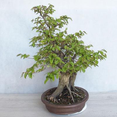 Outdoor bonsai Carpinus betulus- Hornbeam VB2020-485 - 4