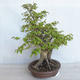 Outdoor bonsai Carpinus betulus- Hornbeam VB2020-485 - 4/5