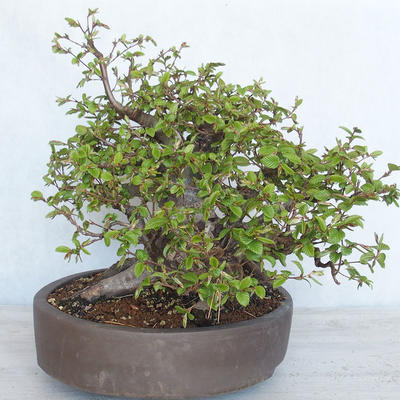 Outdoor bonsai Carpinus betulus- Hornbeam VB2020-487 - 4