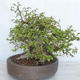 Outdoor bonsai Carpinus betulus- Hornbeam VB2020-487 - 4/5