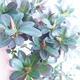 Outdoor bonsai - Rhododendron sp. - Pink azalea - 4/4