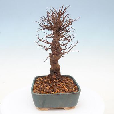 Outdoor bonsai - Zelkova - Zelkova NIRE - 4