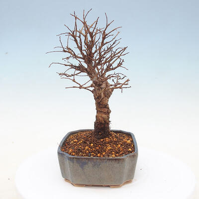 Outdoor bonsai - Zelkova - Zelkova NIRE - 4