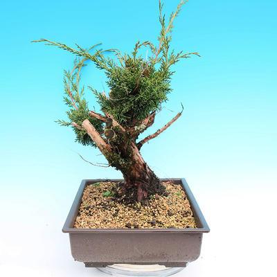 Yamadori Juniperus chinensis - juniper - 4