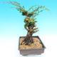 Yamadori Juniperus chinensis - juniper - 4/6