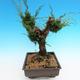 Yamadori Juniperus chinensis - juniper - 4/5