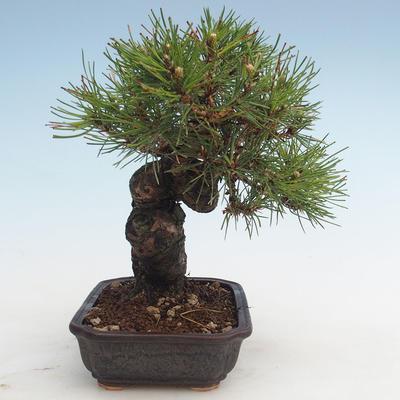 Pinus thunbergii - Thunberg Pine VB2020-572 - 4