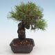 Pinus thunbergii - Thunberg Pine VB2020-572 - 4/5