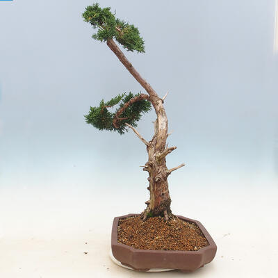 Outdoor bonsai - Juniperus chinensis - Chinese juniper - 4