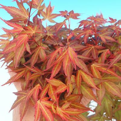 Outdoor bonsai - Acer palmatum Beni Tsucasa - Japanese Maple 408-VB2019-26736 - 4