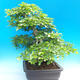 Outdoor bonsai -Carpinus CARPINOIDES - Korean Hornbeam - 4/5