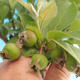 Outdoor bonsai - Malus halliana - Malplate apple tree - 4/4