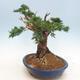 Outdoor bonsai - Juniperus chinensis - Chinese juniper - 4/6