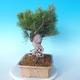 Pinus thunbergii - Thunberg Pine - 4/5