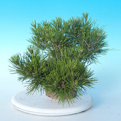 Pinus thunbergii - Thunberg Pine - 4