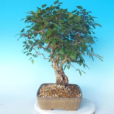 Outdoor bonsai -Carpinus CARPINOIDES - Korean Hornbeam - 4