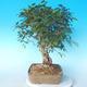 Outdoor bonsai -Carpinus CARPINOIDES - Korean Hornbeam - 4/5