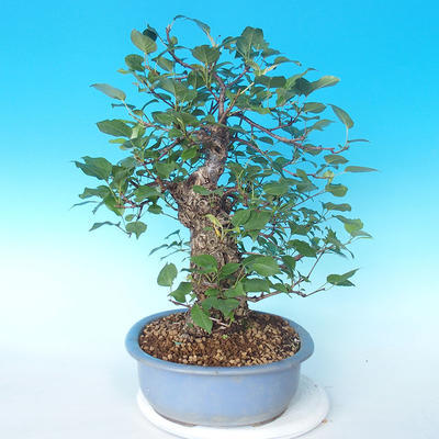 Outdoor bonsai - Japanese pear NASHI - Pyrus pyrifolia - 4