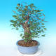 Outdoor bonsai - Japanese pear NASHI - Pyrus pyrifolia - 4/6