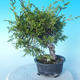 Outdoor bonsai - Juniperus chinensis ITOIGAWA - Chinese Juniper - 4/6