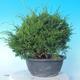 Outdoor bonsai - Juniperus chinensis ITOIGAWA - Chinese Juniper - 4/6