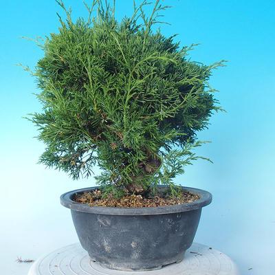 Outdoor bonsai - Juniperus chinensis ITOIGAWA - Chinese Juniper - 4