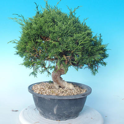 Outdoor bonsai - Juniperus chinensis ITOIGAWA - Chinese Juniper - 4