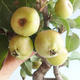 Outdoor bonsai - Malus halliana - Small-fruited apple tree - 4/5