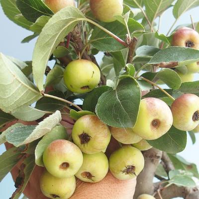 Outdoor bonsai - Malus halliana - Small Apple 408-VB2019-26765 - 4