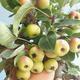 Outdoor bonsai - Malus halliana - Small Apple 408-VB2019-26765 - 4/4