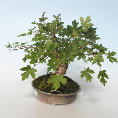 Outdoor bonsai-Acer campestre-Maple Babyb 408-VB2019-26807 - 4