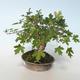 Outdoor bonsai-Acer campestre-Maple Babyb 408-VB2019-26807 - 4/5