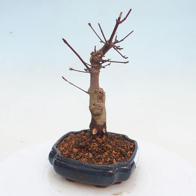 Outdoor bonsai - Maple palmatum DESHOJO - Japanese Maple - 4