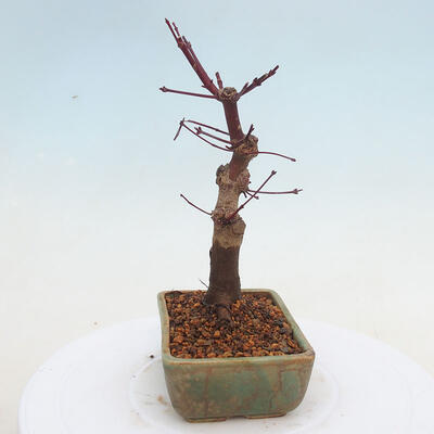 Outdoor bonsai - Maple palmatum DESHOJO - Japanese Maple - 4