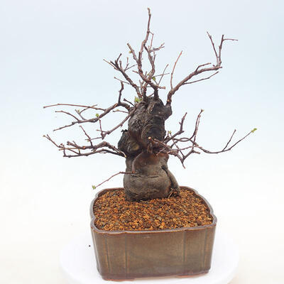 Outdoor bonsai - Pseudocydonia sinensis - Chinese quince - 4