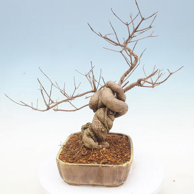 Outdoor bonsai - beautiful Callicarpa - 4