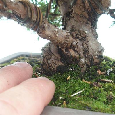 Outdoor bonsai - Juniperus chinensis Itoigawa-Chinese juniper - 4