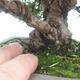 Outdoor bonsai - Juniperus chinensis Itoigawa-Chinese juniper - 4/6