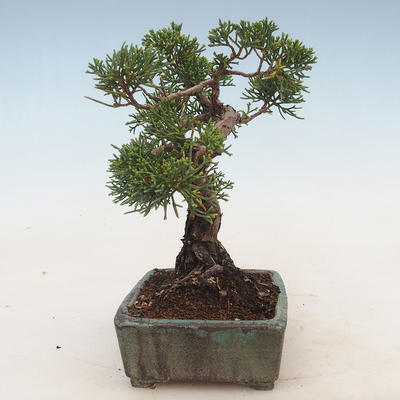 Outdoor bonsai - Juniperus chinensis - Chinese juniper - 4