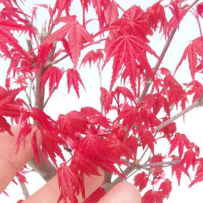 Outdoor bonsai - Maple palmatum DESHOJO - Maple palm - 4