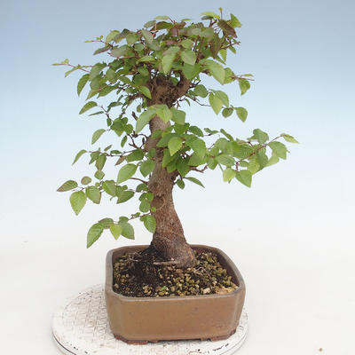 Outdoor bonsai -Carpinus CARPINOIDES - Korean Hornbeam - 4