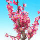 Outdoor bonsai -Japanese apricot - Prunus Mume - 4/6