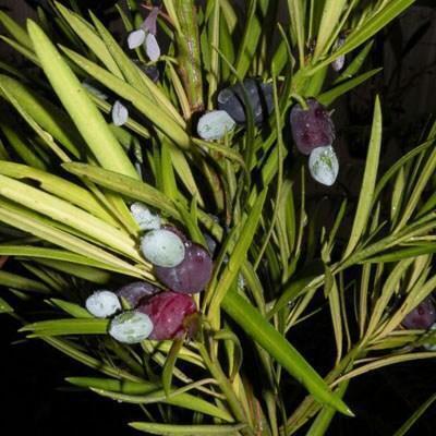 Indoor bonsai - Podocarpus - Stone thous - 4