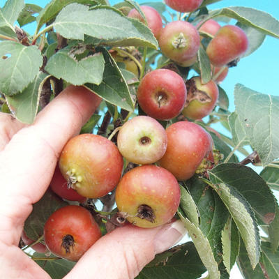 Outdoor bonsai -Malus Halliana - fruited apple - 4