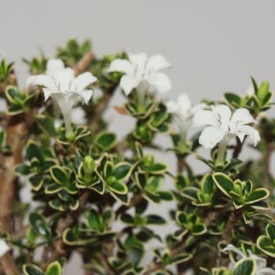 Indoor bonsai - Serissa foetida Variegata - Tree of a Thousand Stars - 4