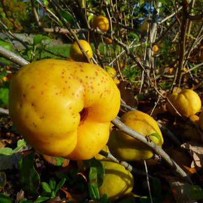Outdoor bonsai - Chaenomeles superba jet trail - White quince - 4