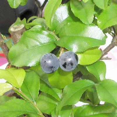 Indoor bonsai - Sagerécie thea - Sagerécie thea PB2191274 - 4