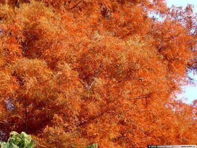 Outdoor bonsai - Two-line bream - 4