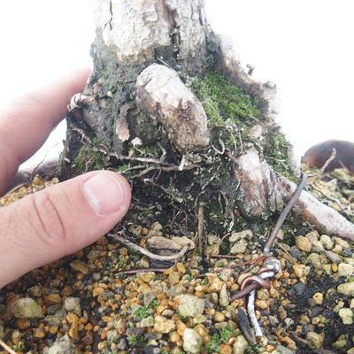 Outdoor bonsai - Pinus Mugo - Kneeling Pine - 5