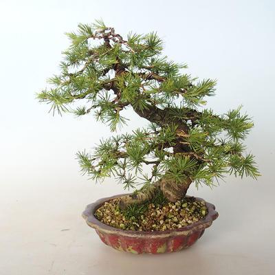 Outdoor bonsai -Larix decidua - Larch - 5